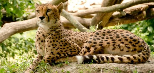 Gepard v Keni