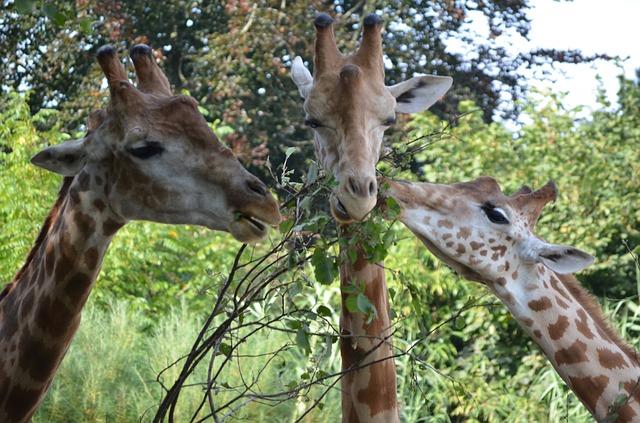 Žirafy v Afrike