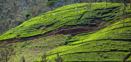 Čajová plantáž na Srí Lanke