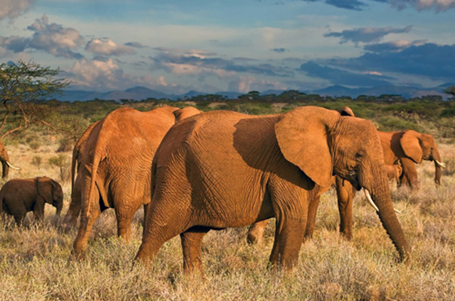 Slony, Keňa