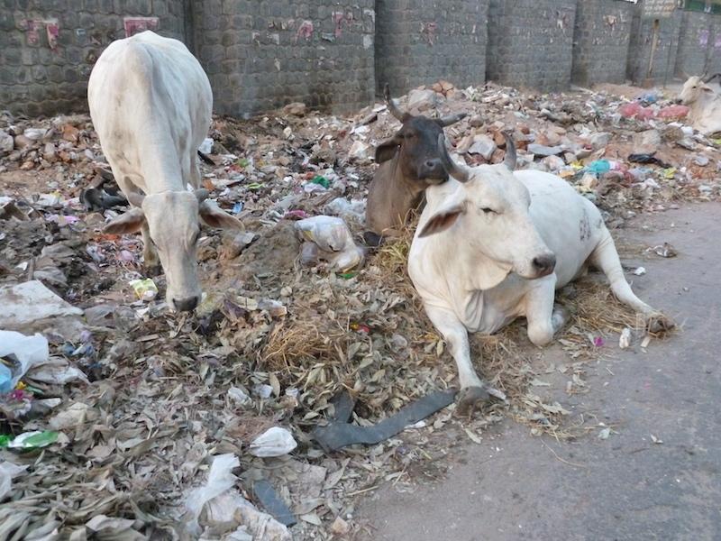 Kravy v Novom Dillí