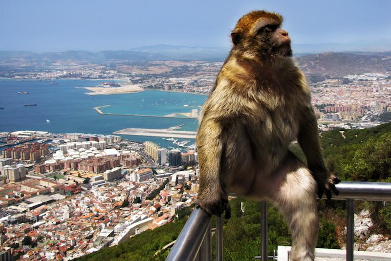 Opica Gibraltar