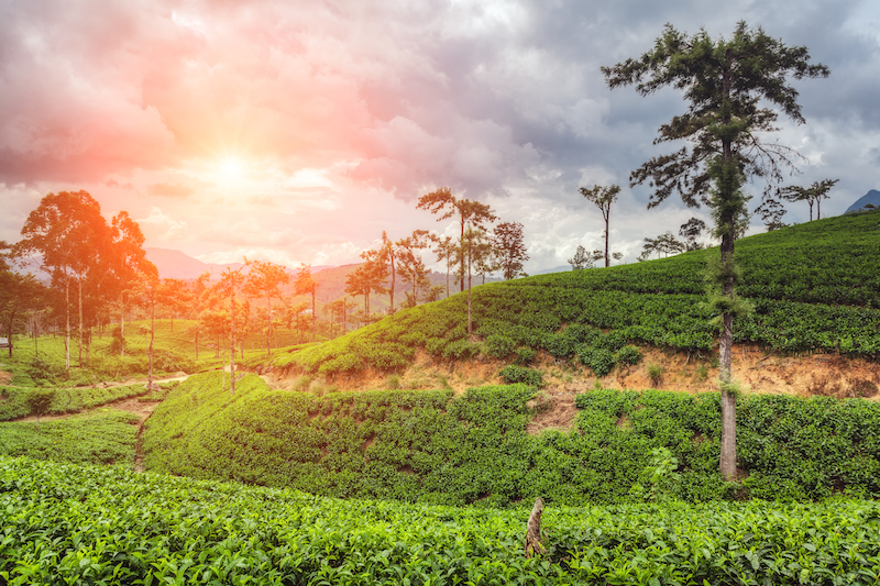 Srí Lanka čajovníkové polia