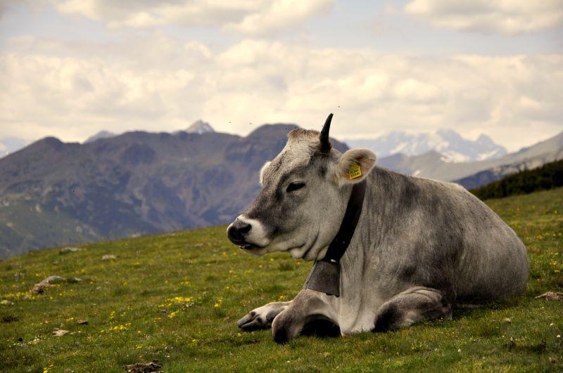 Krava na lúke v Tirolsku