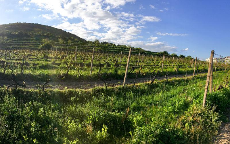 Rača - vinohrady
