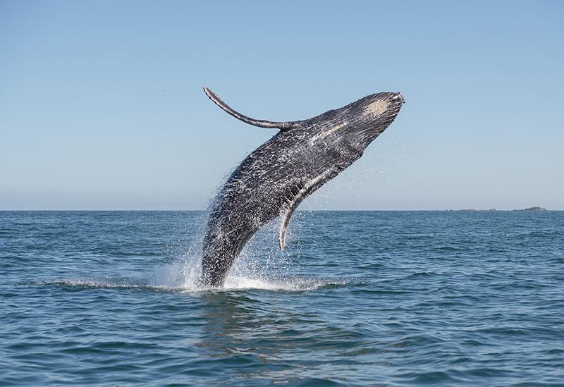 Vráskavec Panama