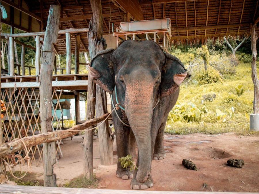 Pašovanie slonov