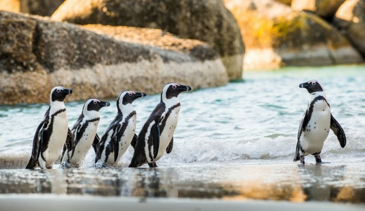 Tučniaky v Kapskom Meste